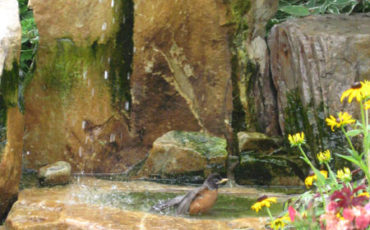 A robin in the fountain within the Butterfly Garden